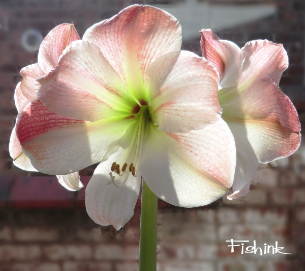 Fishink Amaryllis