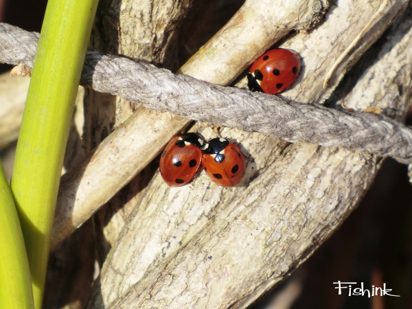 Fishink Ladybirds